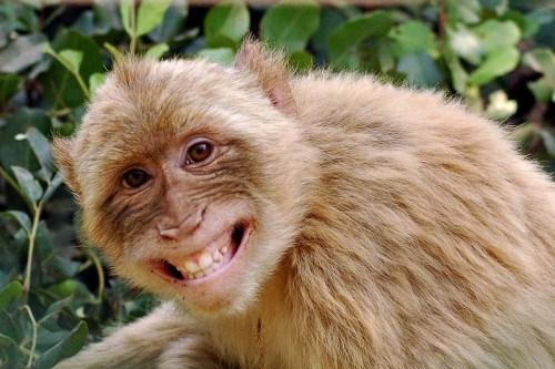 monkey happy animal