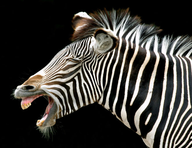 zebra happy animal -  22