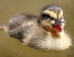 27-duck-happy-animal