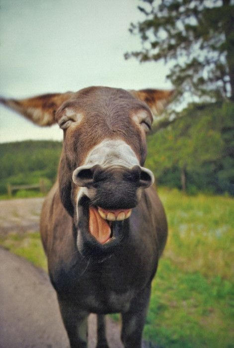 mule happy animal