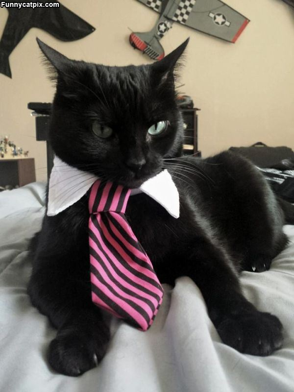 7 dress suite funny cat photography