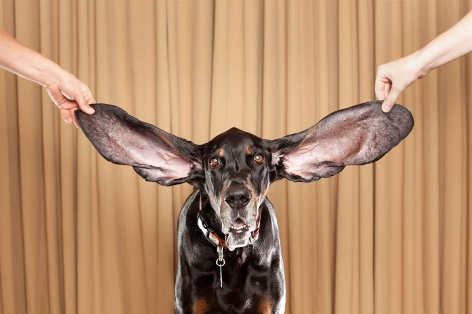 longest ears  funny guinness world records