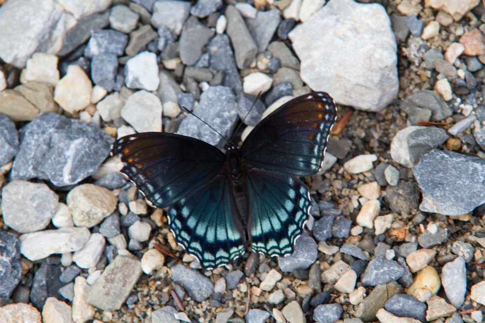 beautiful butterfly pictures black by todd feasley