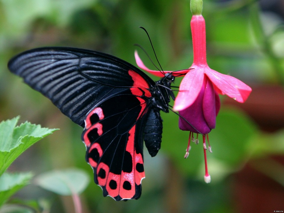 beautiful butterfly pictures pink panther by ecotravols costa rica