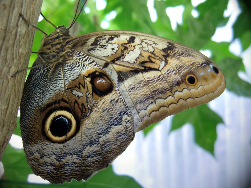 beautiful butterfly pictures owl eyed by fabian