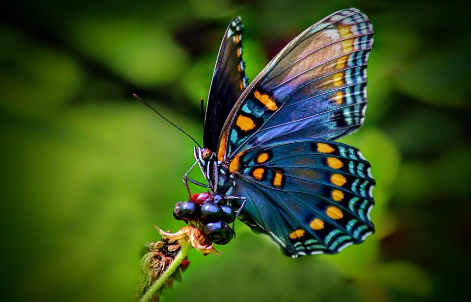 beautiful butterfly pictures berry eat