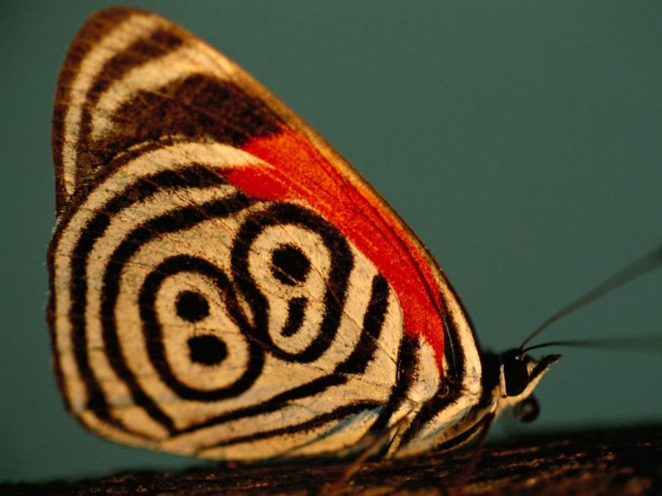 beautiful butterfly pictures 88 brazil by joel sartore