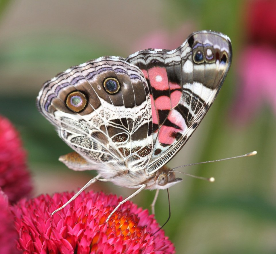beautiful butterfly pictures light pink