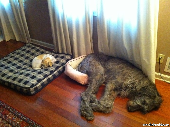 funny dogs sleep fail