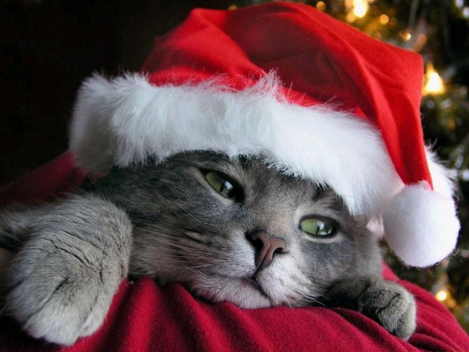 funny santa cat