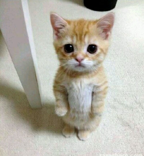 cat standing up