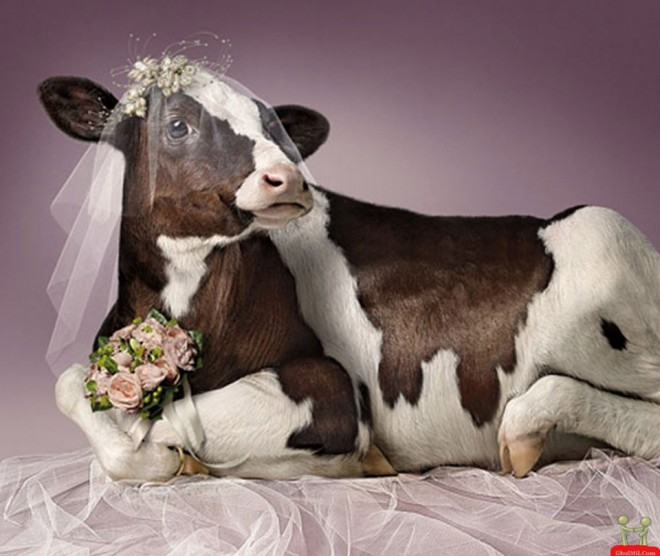 funny animal cow wedding