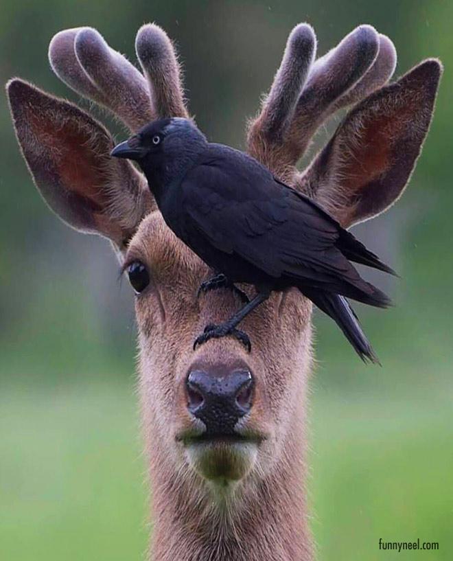 beautiful photography deer crow