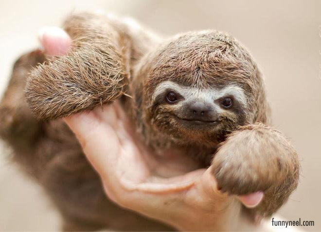 funny animal smile sloth
