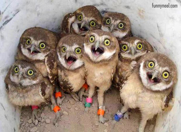 funny animals baby owls