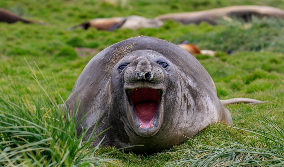 funny animals laughing seal picture