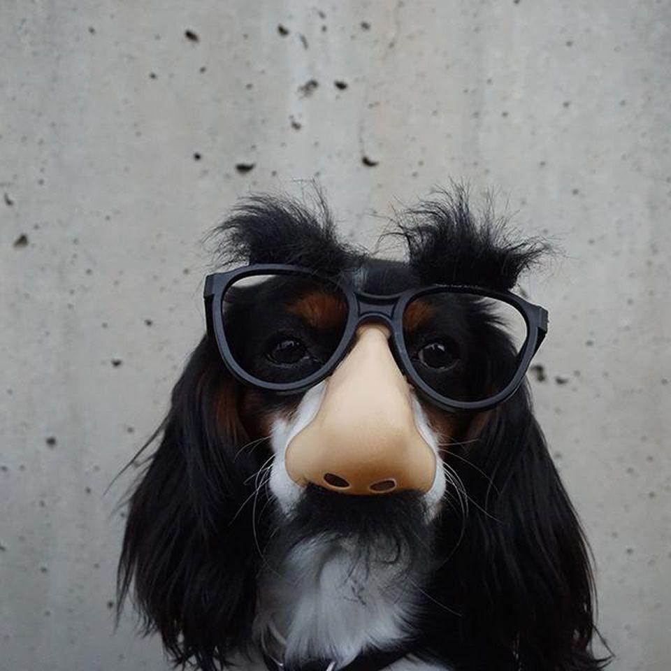 funny dog sunglass