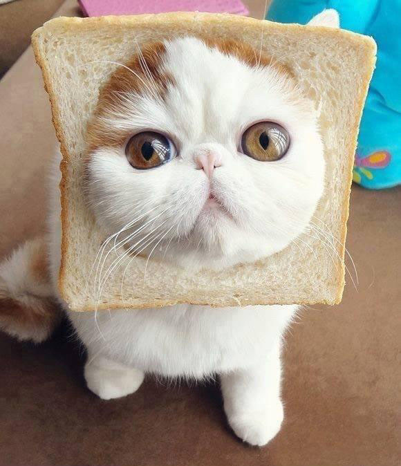 funny cat with bread