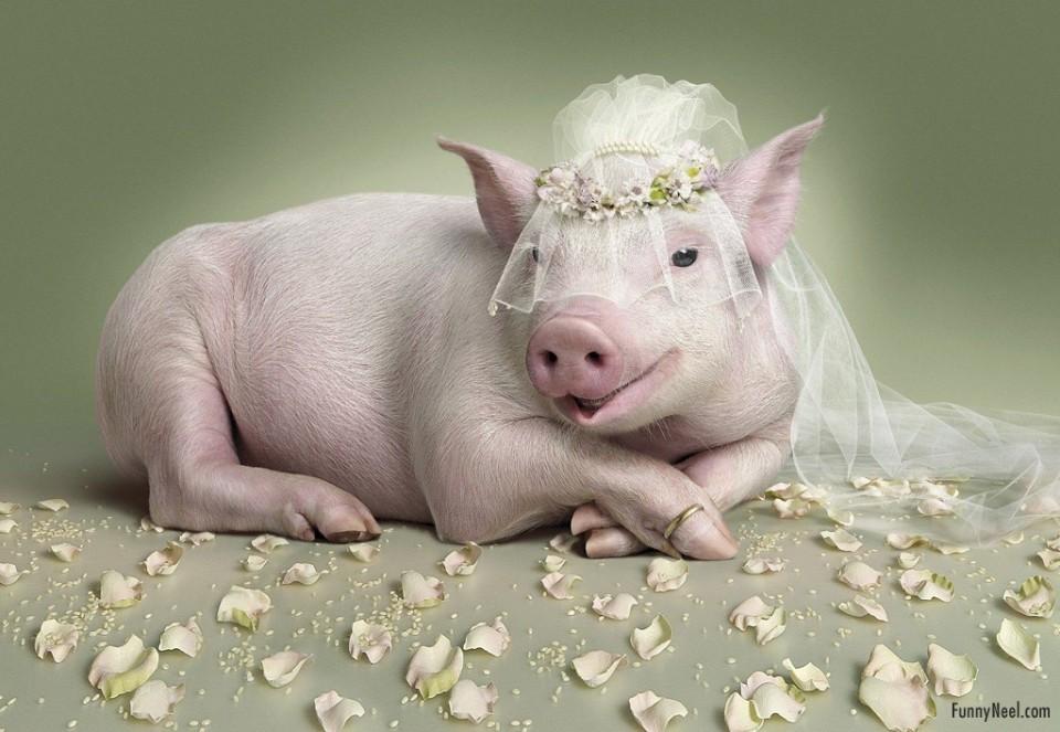 funny animals wedding pig bride