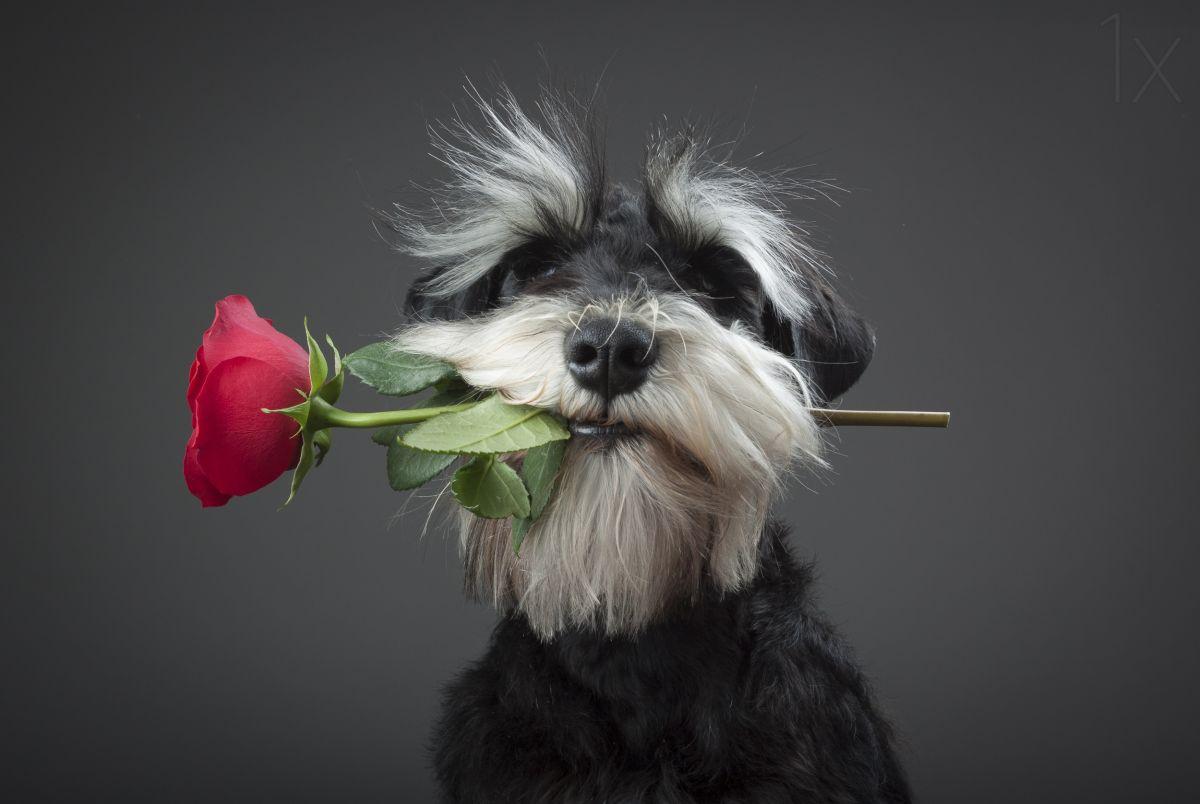 funny dog rose proposal
