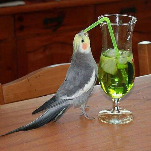 funny bird drinking