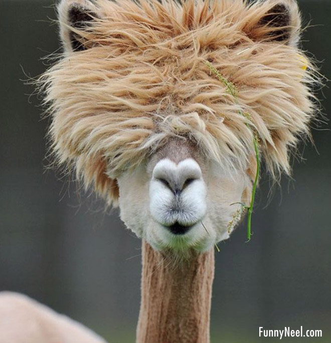 funny hairstyle animal camel