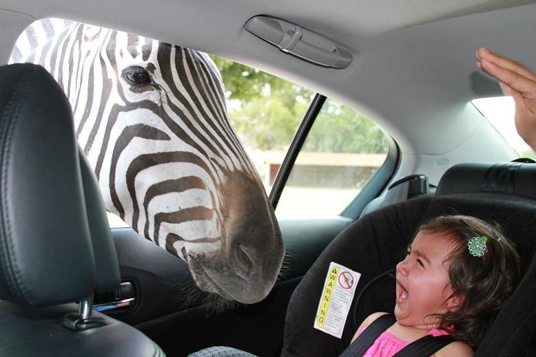 zebra scare funny kid