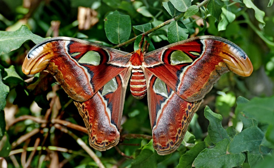 beautiful butterfly pictures attacus atlas