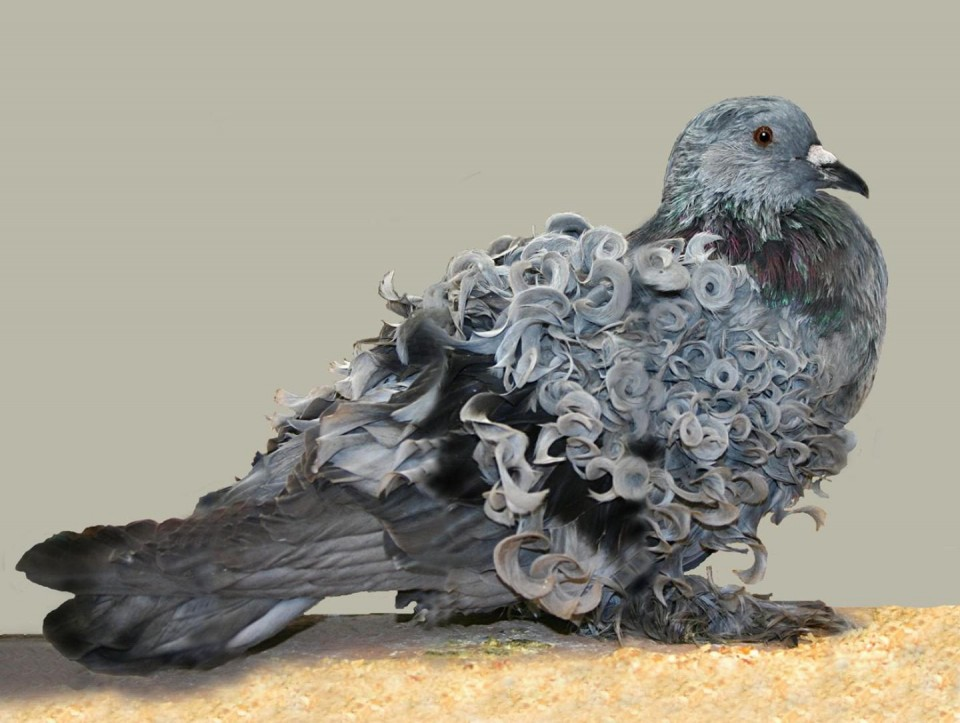 funny animal hairstyles pigeon