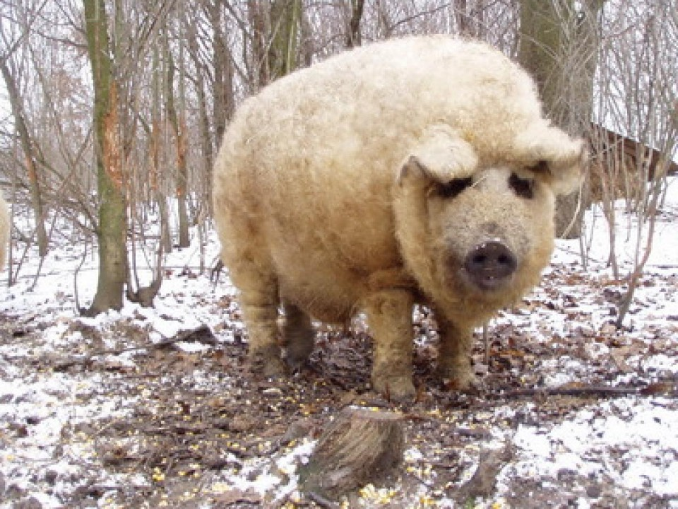 funny animal hairstyles hairy pig