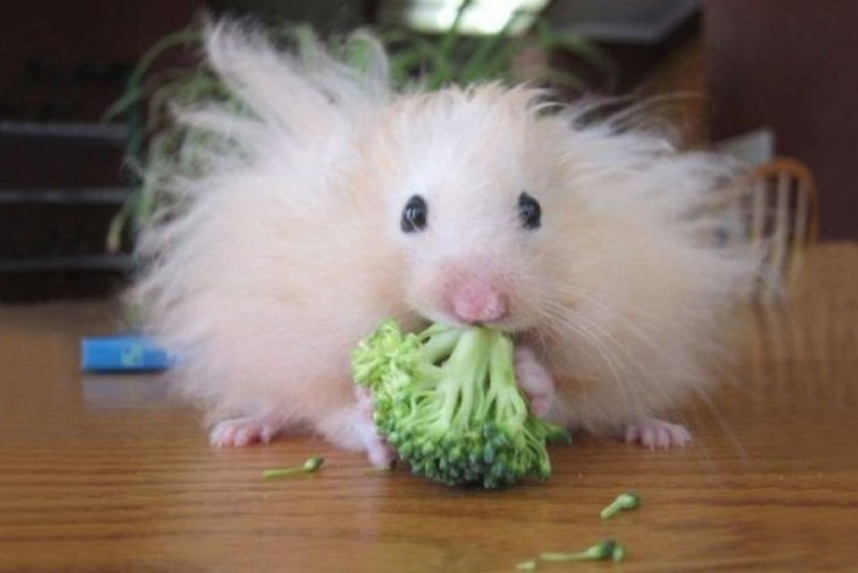 funny animal hairstyles hamster