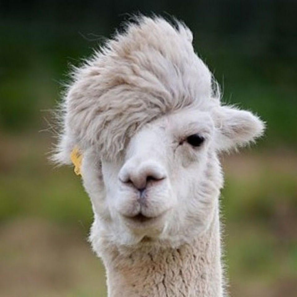 funny animal hairstyles hipster alpaca
