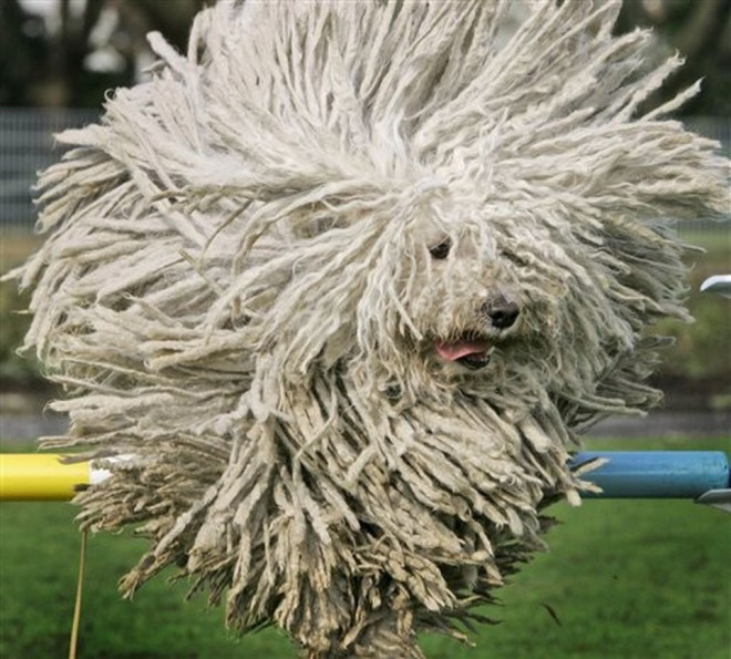 funny animal hairstyles puli dog