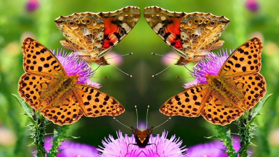 beautiful butterfly pictures cheetah stripe
