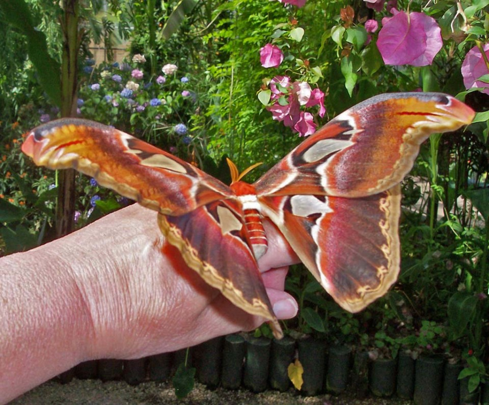 beautiful butterfly pictures giant atlas moth