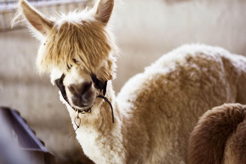funny animal hairstyles peekaboo