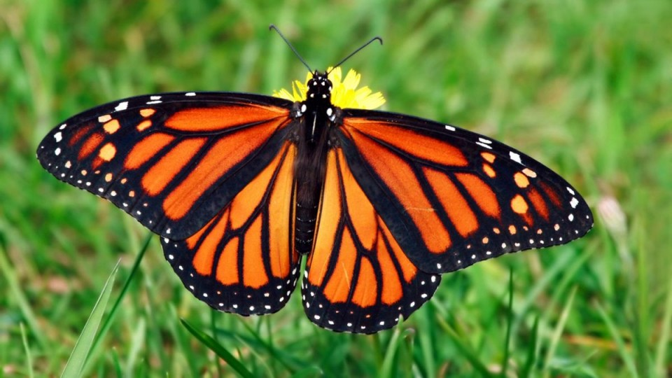 beautiful butterfly pictures monarch