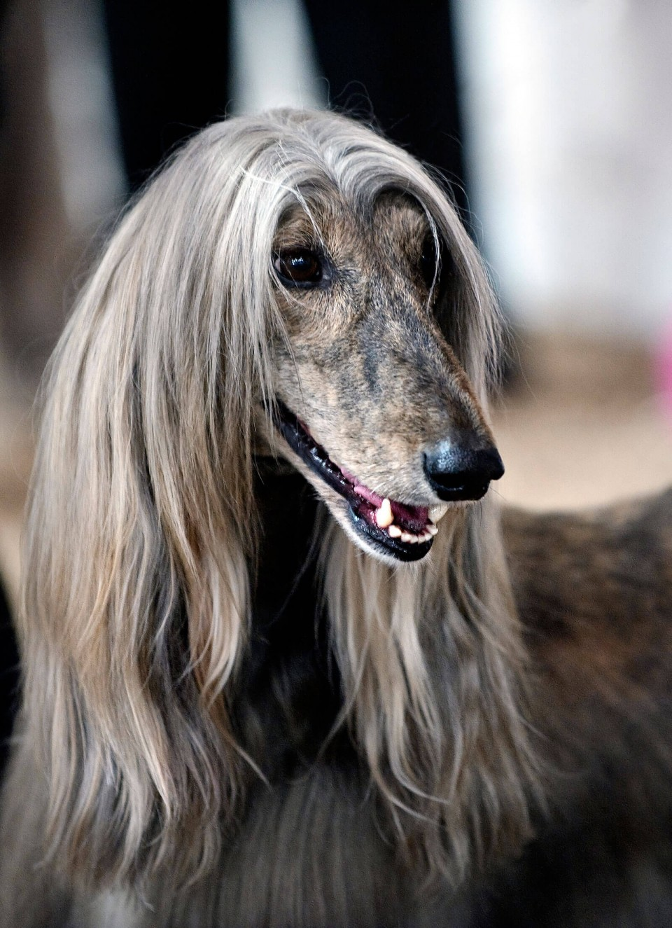 funny animal hairstyles afghan hound