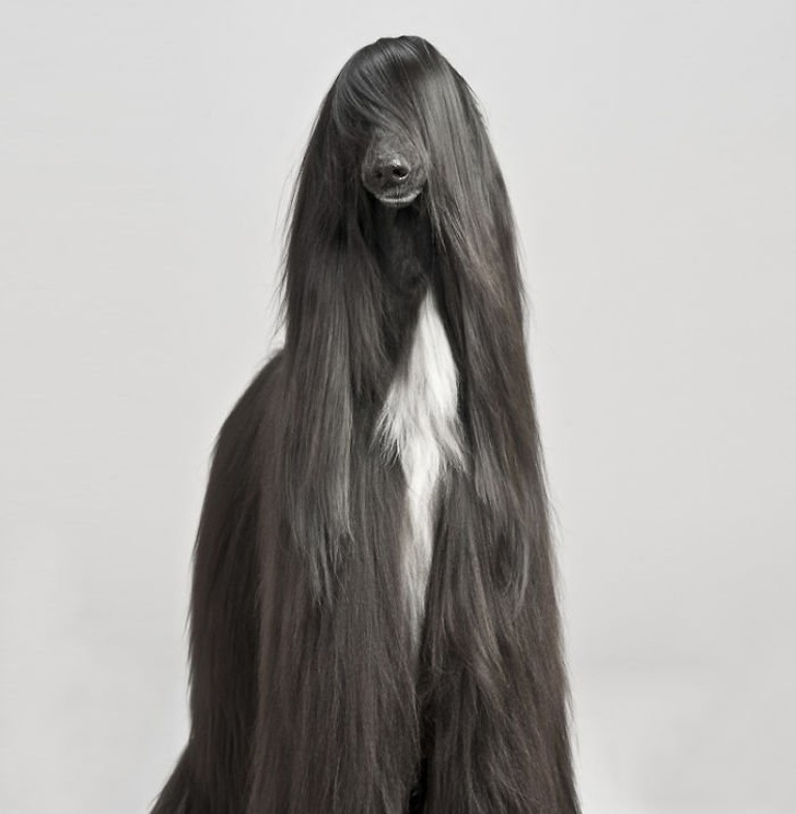 funny animal hairstyles afghan hound long hair