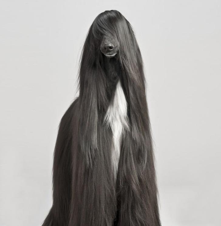 funny animal hairstyles afghan hound long hair