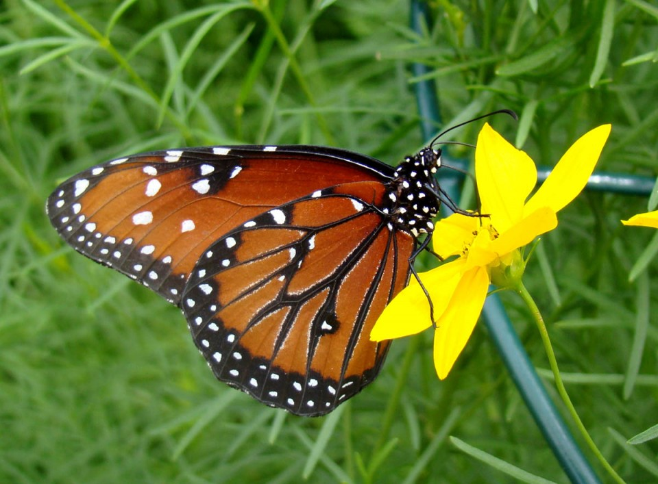 beautiful butterfly pictures queen