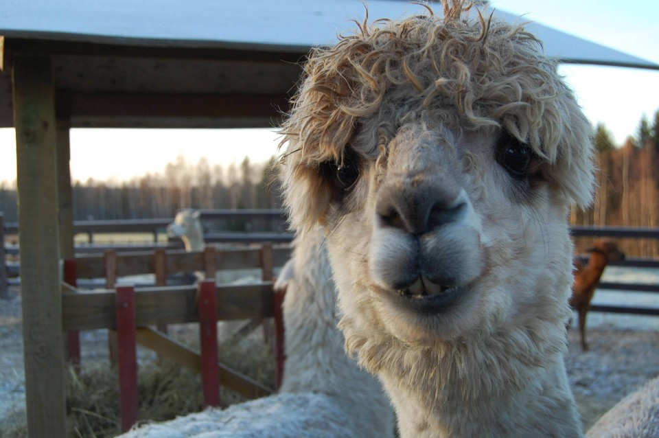 funny animal hairstyles alpaca curly hair
