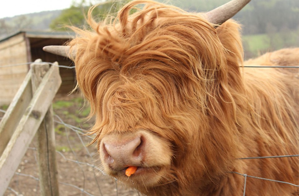 funny animal hairstyles mini highland cow