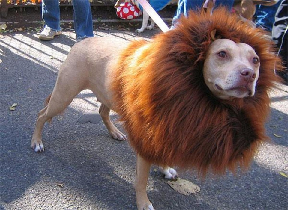 funny animal hairstyles lion dog