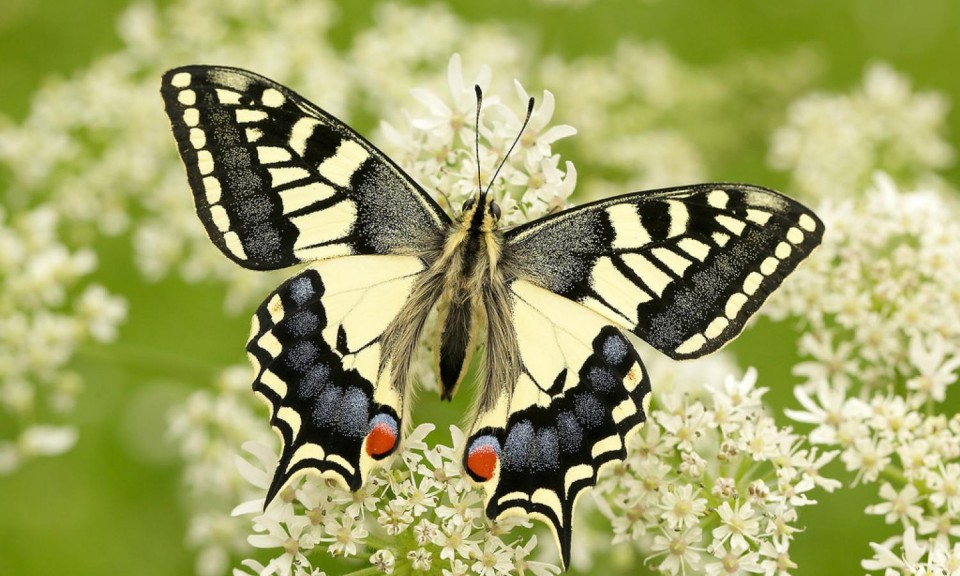 beautiful butterfly pictures swallow tail