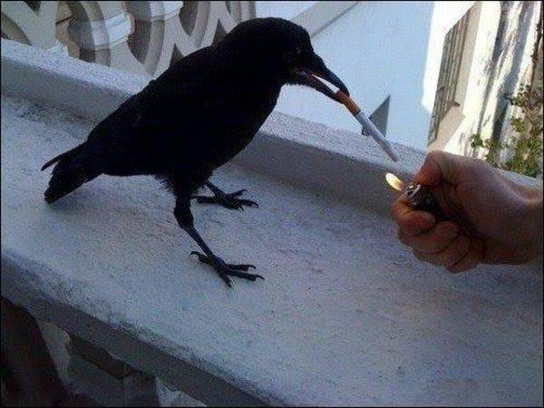 smoking crow