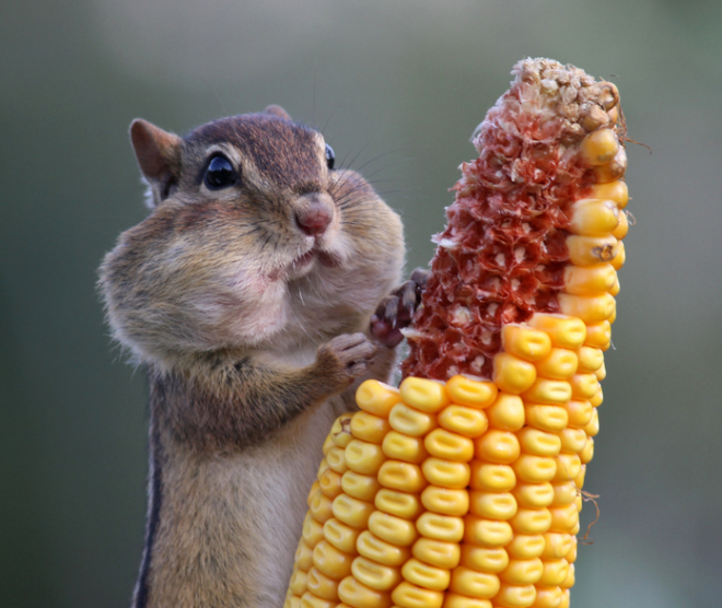 squirrel on the cob