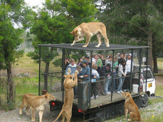 tiger cage