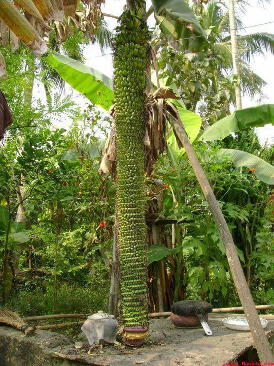 amazing banana plant