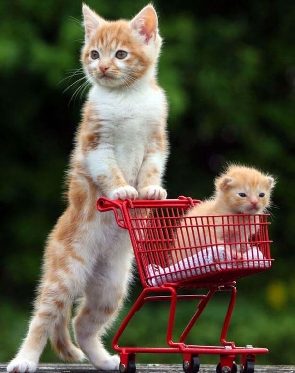shopping basket funny cats
